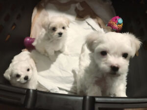 Lovely Maltese puppies looking for a forever home