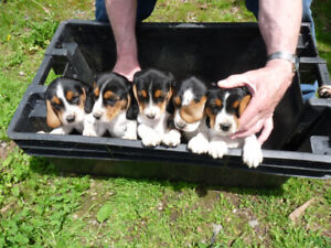 Beagle and Blue Tick Puppies