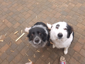 Farm dogs in need of new home