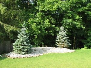 5 FIVE BLUE SPRUCE TREES