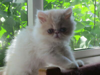 T.I.C.A. REG. EXOTIC SHORT HAIR KITTENS (PERSIAN)