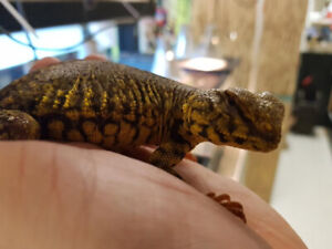 Yellow Uromastyx