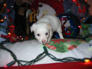 CHIHUAHUA Puppies READY TO GO NOW Health Exam Individually Price