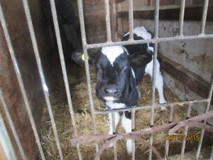 assorted calves