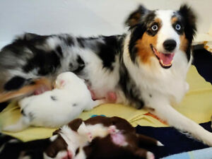 Registered Mini Australian Shepherd Puppies!