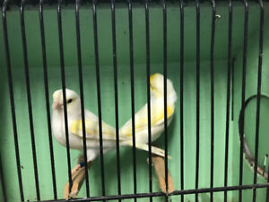 Yellow mosaic canaries for sale