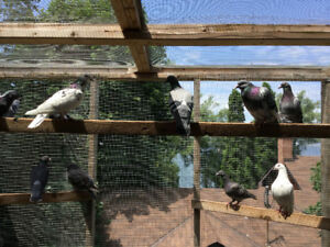 YOUNG HOMING PIGEONS FOR SALE