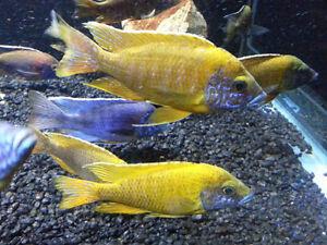 Discus Cichlids Flowerhorn Arowana Angel Fish Koi Fish Aquarium