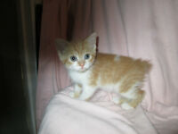 MANX KITS, MALE AND FEMALE AVAILABLE