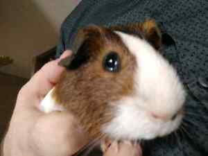 3 chubby, fluffy guinea pigs looking for their  new home.