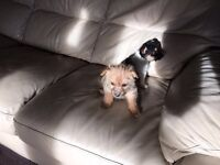Yorkshire terrier cross shihtzu