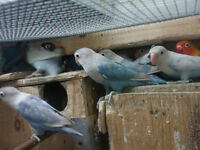LOVEBIRDS FOR SALE  (fischers)