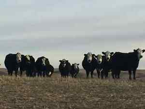 BIRCHAM BBF BRED HEIFERS FOR SALE Regina Regina Area image 2