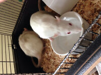 2 Friendly Female Rats with cage