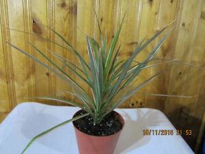 Madagascar Dragon Tree (Tropical) - Air Purifier Plant