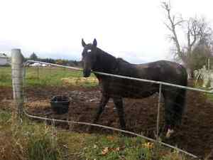 12 year old Thoroughbred free to good home