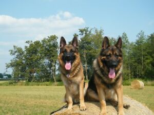 German Shepherd | Adopt Dogs & Puppies Locally in Ontario