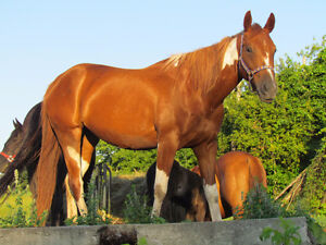 Registered Paint Mare  - FOR SALE Peterborough Peterborough Area image 1