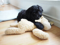 Bouvier Poodle Puppies Very Rare. Non-Shedding like goldendoodle