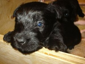 purebred scottie pups for sale