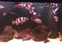 Malawi Chiclids for sale