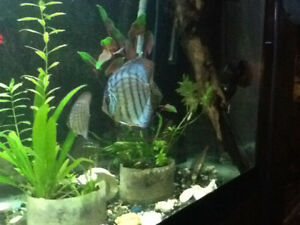 Discus and Bristlenose  plecos