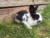 Rabbit male in Nuneaton