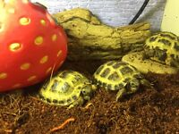 Baby tortoises- with full set up home and all needed