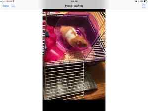 10month old male hamster and cage with accessories