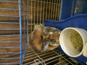 Bunny free to a good home Cambridge Kitchener Area image 5