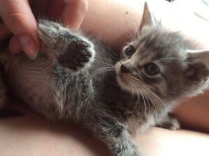 10 kittens, 2 polydactyl. 25$ to 10$