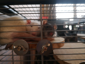 Two lovely rats free to a good home