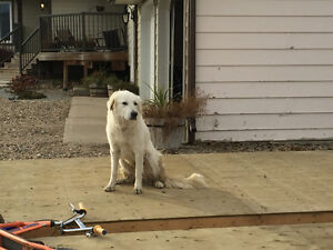 Great White Pyrenees for sale