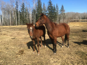 Horses for sale, 7 year old mare with filly