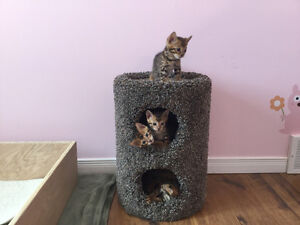 Purebred Bengal Kittens -Only 2 males left!