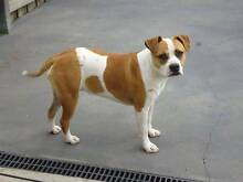 AMERCIAN STAFFY - PUREBRED! NEEDING FOREVER HOME! Caroline Springs Melton Area Preview