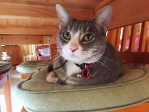 Ita - Cat For Adoption - Cheltenham Cat Rescue Mont Albert Whitehorse Area Preview