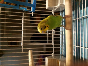Budgie with Cage and Accesseries