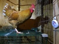Buff Orpington Mix Rooster
