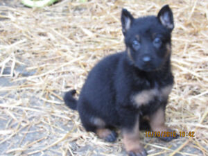 German Shepherd pups and adults