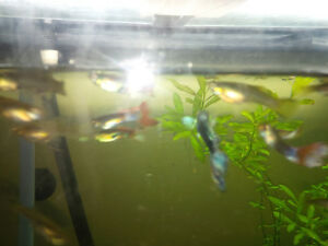 Guppies 5 for $1