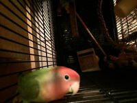 Five months old female love bird needs a new home!