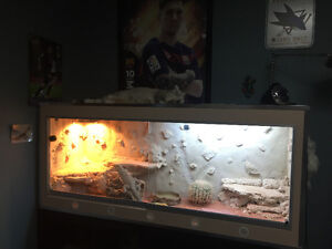 PRICE REDUCED - Friendly Bearded Dragon with Stunning Enclosure