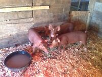 15 week old gilts for sale