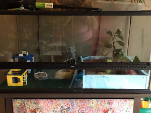 2 leopard geckos with tank and accessories Cambridge Kitchener Area image 2