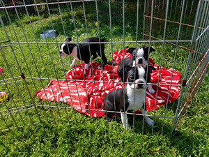 Boston terrier..2 available. f & m