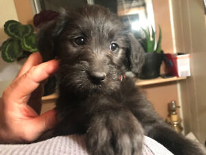 Black and Cream Labradoodle Puppies