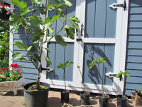 For Sale:  Fig Trees