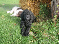 Standard Poodle/ Caniche Standard - Only 1 left !!
