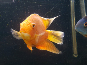 Severum red spot 7 po